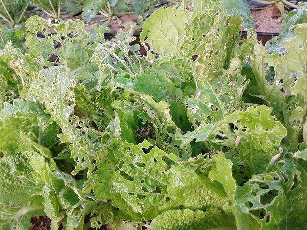 白菜は害虫が発生しやすい野菜