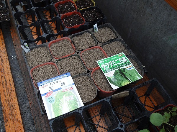白菜の種まき後の様子