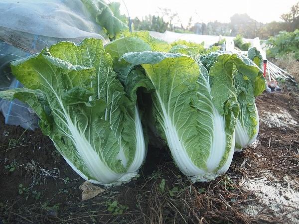 収穫した白菜の無双
