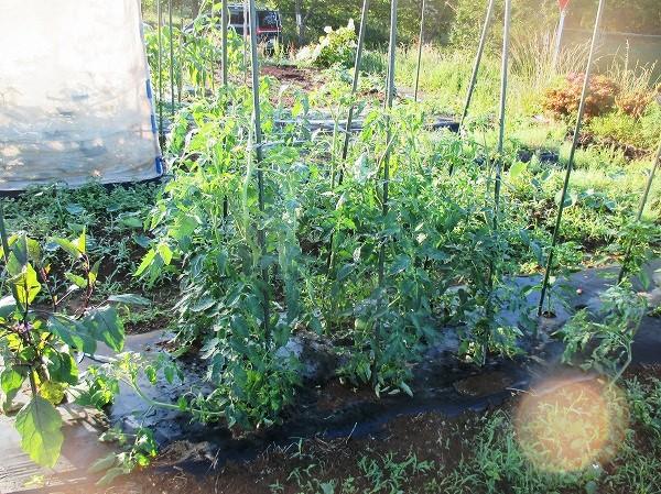 生育中のトマト