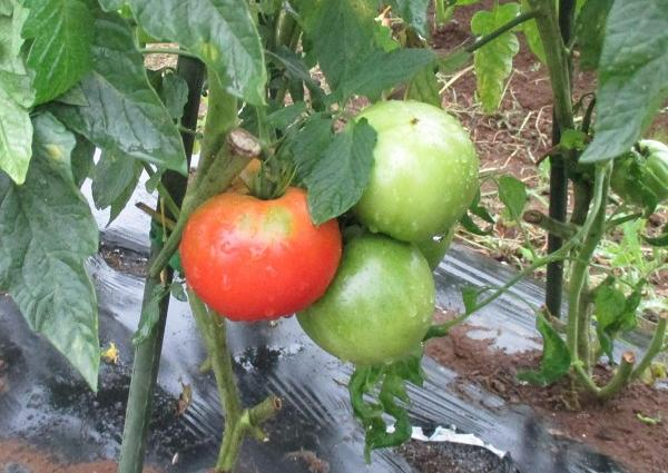 収穫時期のトマト