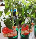 [共通]トマトの苗の選び方