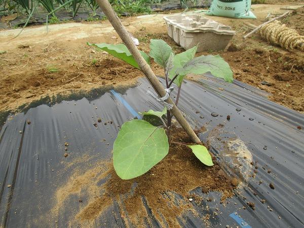 畝にナスの苗を植えたところ