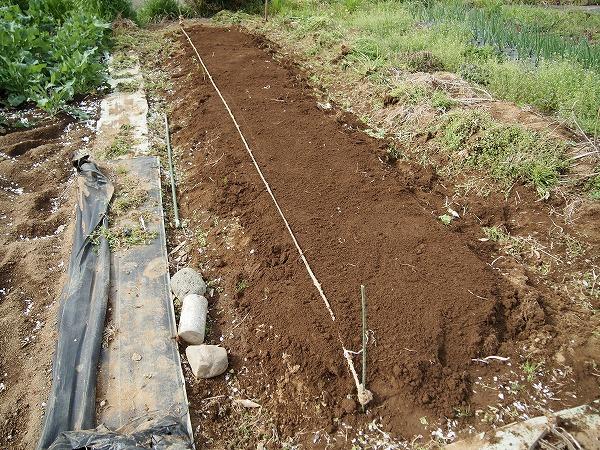 大生姜を植えるために準備した畝