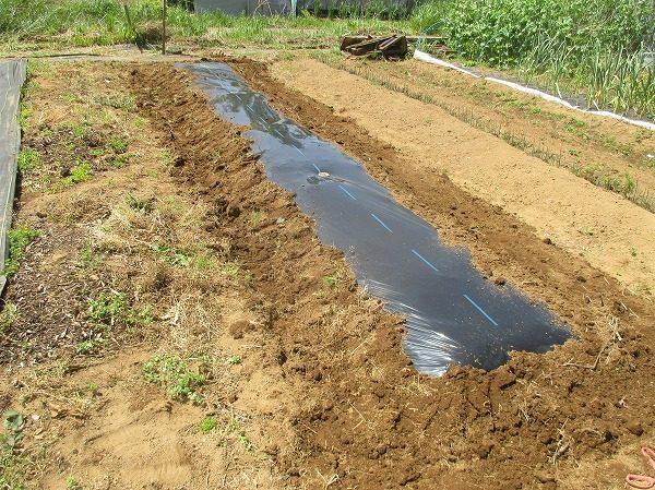 つるなしインゲンを栽培する畝