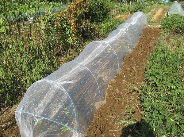 防虫ネットでトンネルして害虫対策