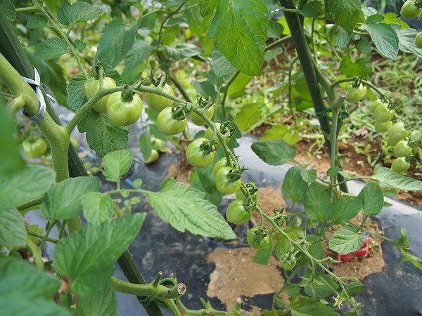 ミニトマトの追肥時期
