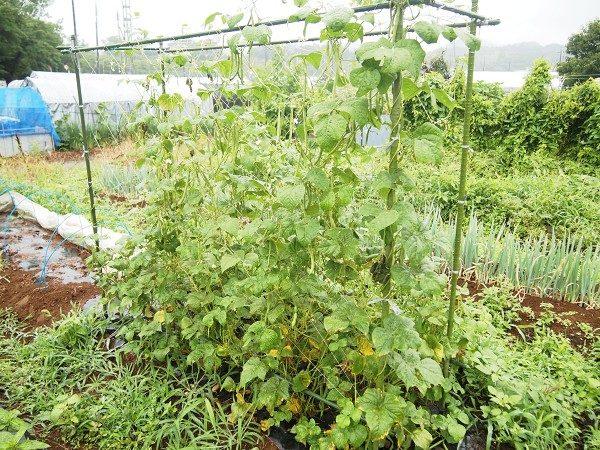 つるありインゲンの収穫適期