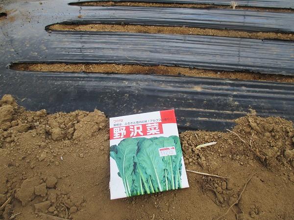 野沢菜の種まき