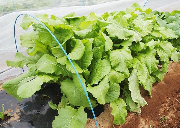 収穫適期の野沢菜
