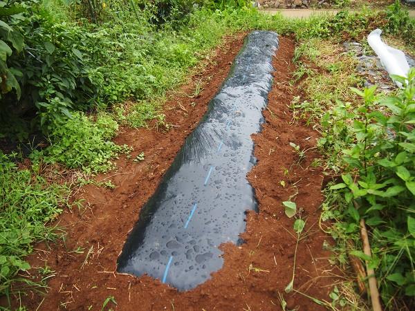 ラディッシュを栽培する畝