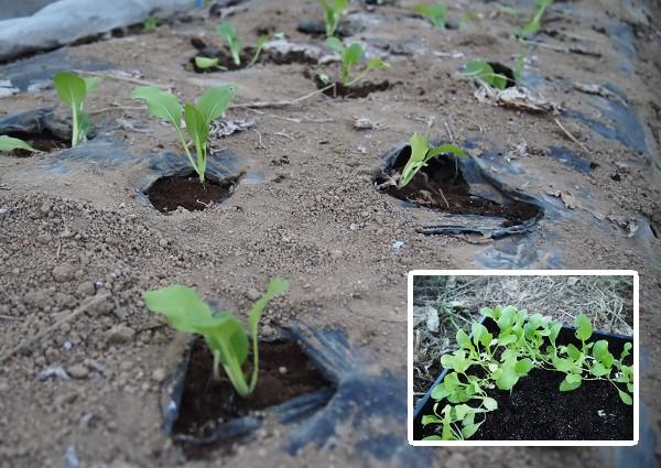 チンゲンサイの苗を植えたところ