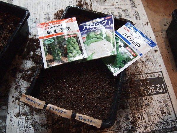 ブロッコリーの種まき