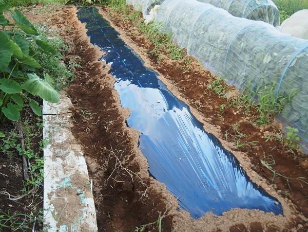 カリフラワーを栽培するために立てた畝