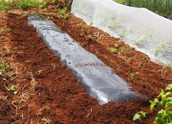 シュンギクを栽培する畝