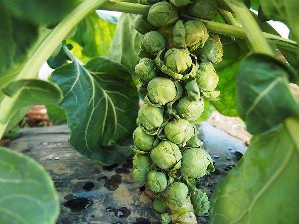 収穫適期の芽キャベツ