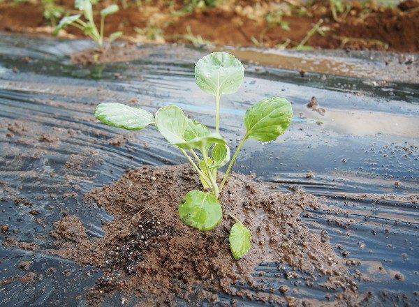 芽キャベツの苗を植えたところ