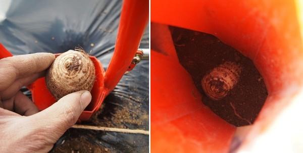 ホーラーH70Pで里芋の種芋を植える