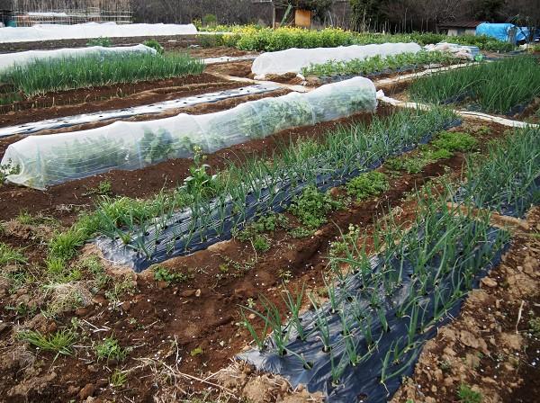 家庭菜園の4月