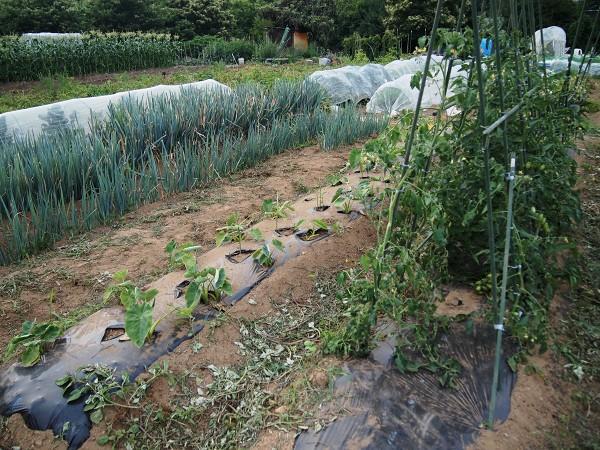 6月の家庭菜園