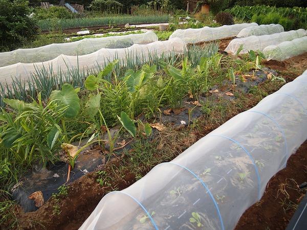 9月の家庭菜園