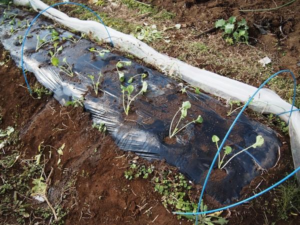 のらぼうを植えた畝