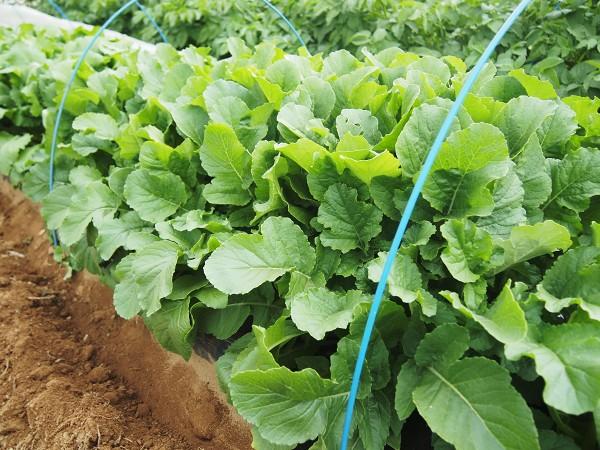 収穫適期の葉大根