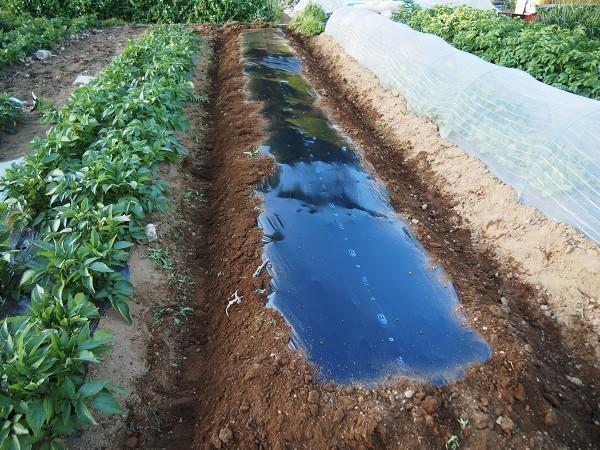 ズッキーニを栽培する畝