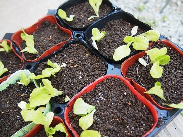 サラダ菜の苗の植え替え