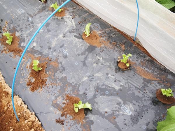 植えた玉レタスの苗