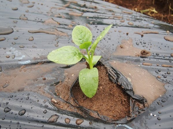 ツルムラサキの植えつけ
