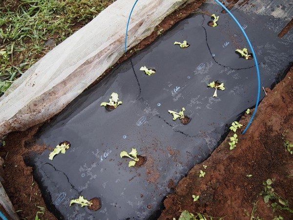 サニーレタスの苗の植えつけ