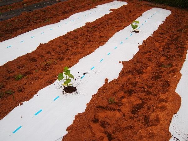 マクワウリを植えた畝