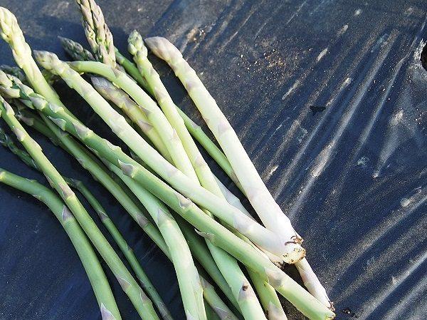 収穫したホワイトアスパラガス
